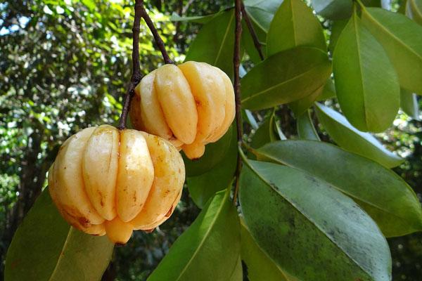 Garcinia Cambogia Origin