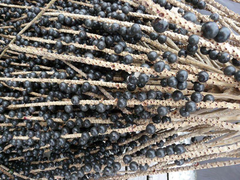 Acai Berry Plant