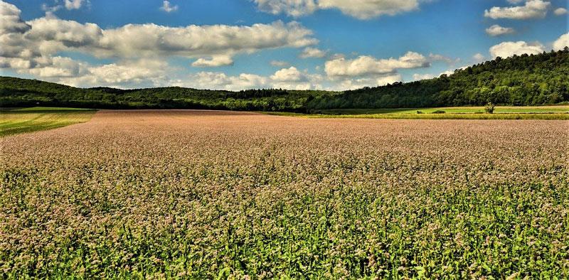 Buckwheat Origin 1