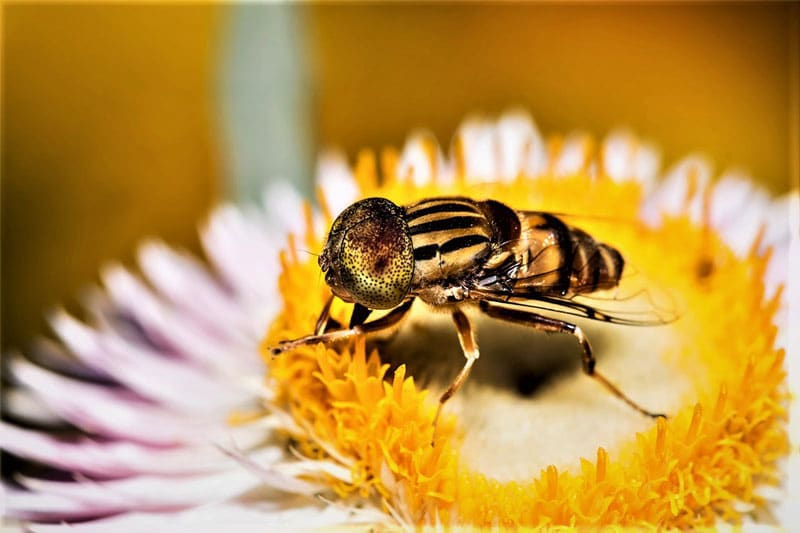 Honey Bee Collecting Nectar From Flower